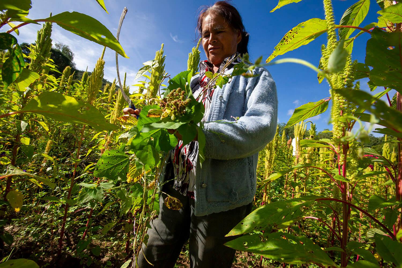 Los campesinos de la región trabajan la agricultura de subsistencia. Cuentan con poca tierra y escasa o nula disponibilidad de agua. Aquí doña Rafaela España del Ejido Coculco. Foto: Fulvio Eccardi