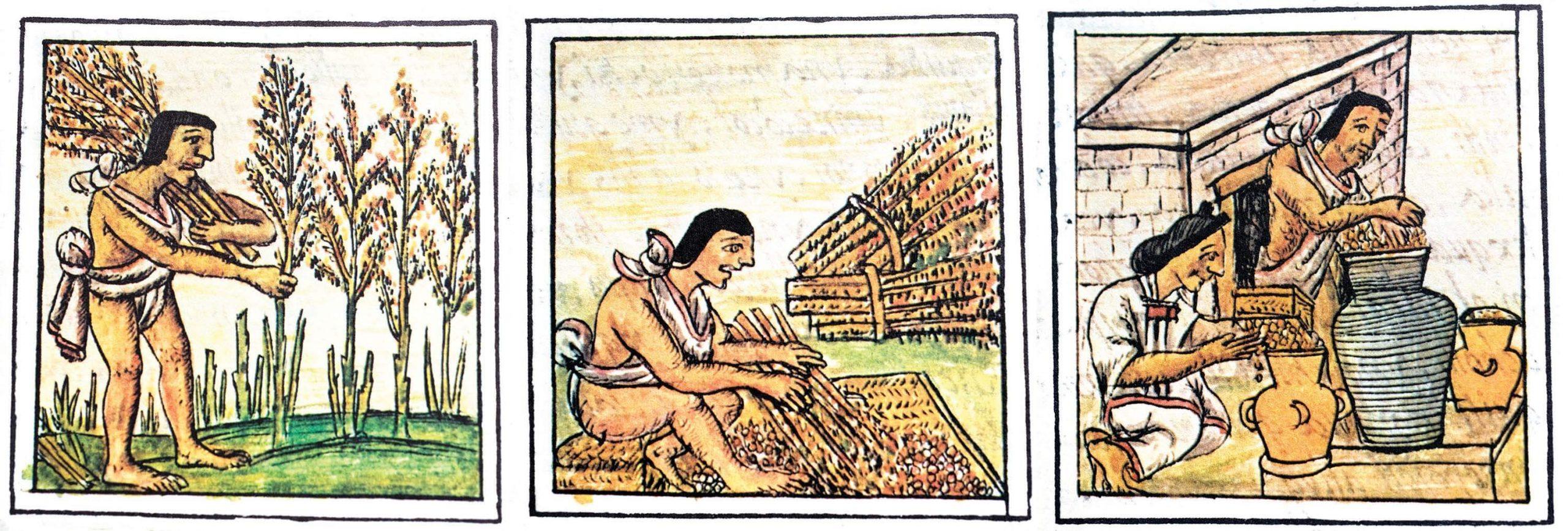En el México prehispánico el amaranto fue uno de los principales cultivos, y se empleaba tanto para el sustento diario como para ceremonias y rituales. De nombre huauhtli en náhuatl, ahparie en purépecha, tez o xtes en maya, wa've para los wixáricas o guegui en rarámuri, esta planta ha sido utilizada durante muchas generaciones por los pueblos originarios. Ilustraciones del Códice Mendocino.