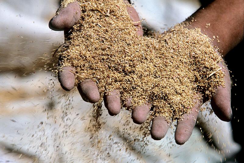 El valor de la producción del amaranto es aproximadamente ocho veces mayor que el del maíz, comparándolos en la misma superficie. Foto: Fulvio Eccardi